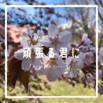 利尻島【満開ざくら 北見神社(鬼脇)・修景池(鴛泊】